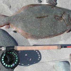 Halibut fish Mag Bay Mexico