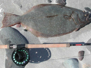Halibut fish Mag Bay Mexico