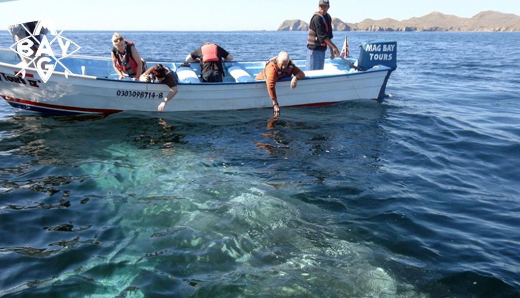Boat with peoples hands near whale, Mag Bay Mexico