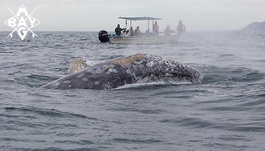 whale spouting with boat in background, Mag Bay Mexico