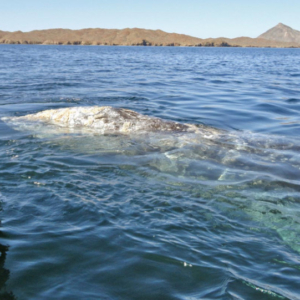 whale hump clear water. Mag Bay Mexico