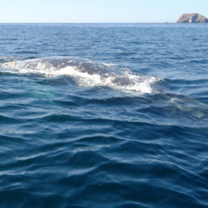 whale near boat in clear water, Mag Bay Mexico