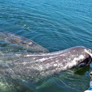 whale next to boat Mag Bay Mexico