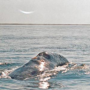 whale hump Mag Bay Mexico