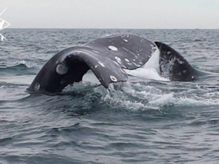 whale tail, Mag Bay Mexico
