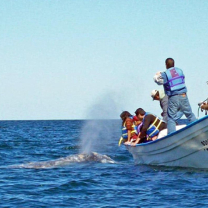 whale spouting Mag Bay Mexico