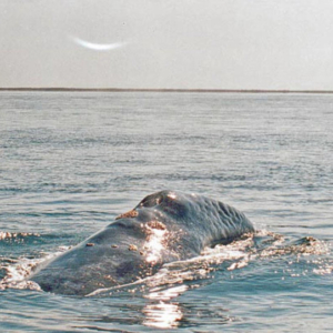 whale hump Mag Bay Mexico